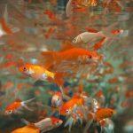 金魚すくいですくった金魚を長生きさせる繁殖させる